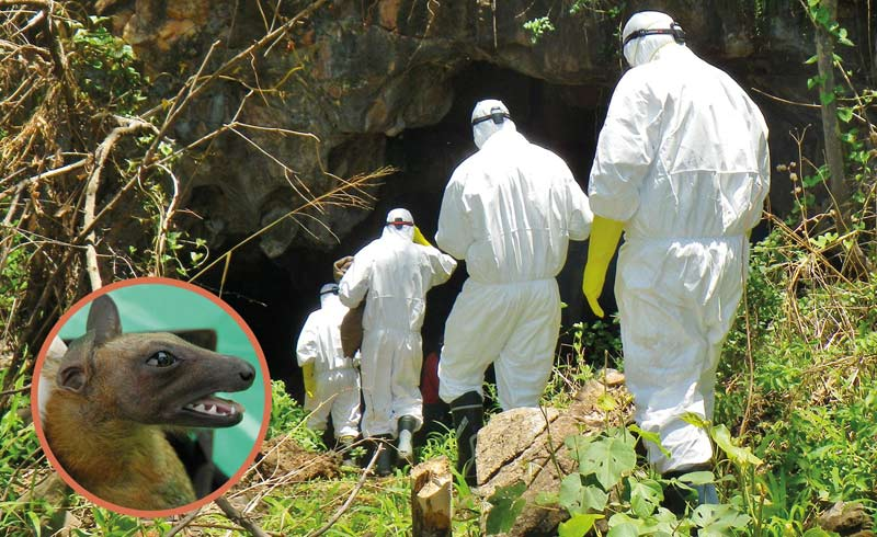 Hirofumi Sawa and his colleagues enter a cave in Zambia to collect bat feces. The inset shows a fruit bat (Eidolon helvum).