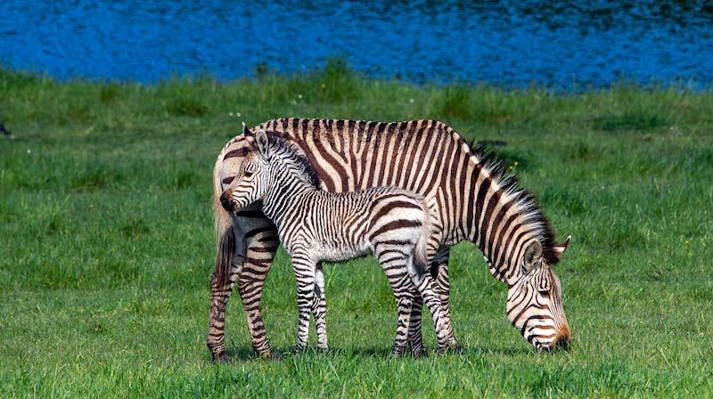 Marula and her newborn Hartmann's Mountain zebra colt foal.