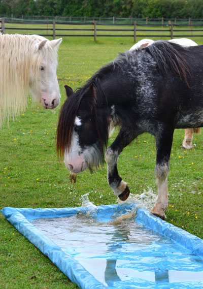 Splashing out: One of the cob mares shows her friend how to keep cool.