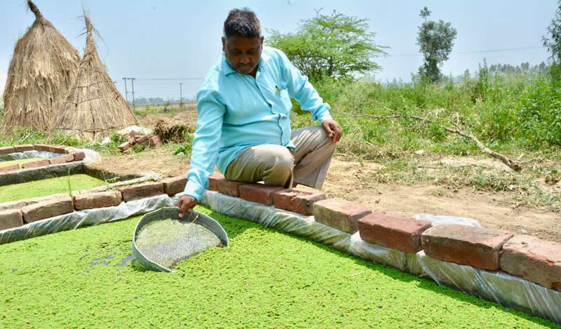 Suresh at the new Azolla pit. Azolla is a free floating fern and can be grown in ponds, pits, and tanks with a depth of 20 centimetres.