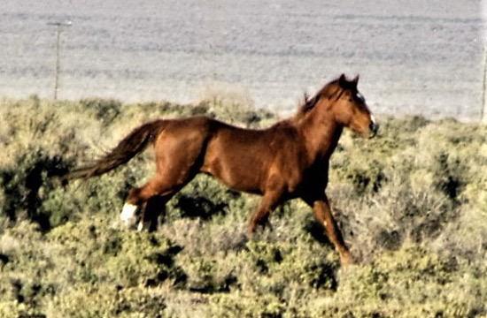 A gorgeous chestnut stallion apparently all alone near the Humboldt Herd Area that the Winnemucca Nevada BLM had decided to not manage for any wild horses. He should be a lesson to us all that there is still hope for the wild naturally living horses to make a comeback.