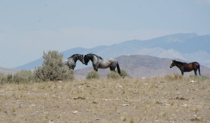 Wild horses from the Onaqui HMA in Utah, which was recently gathered by helicopter.