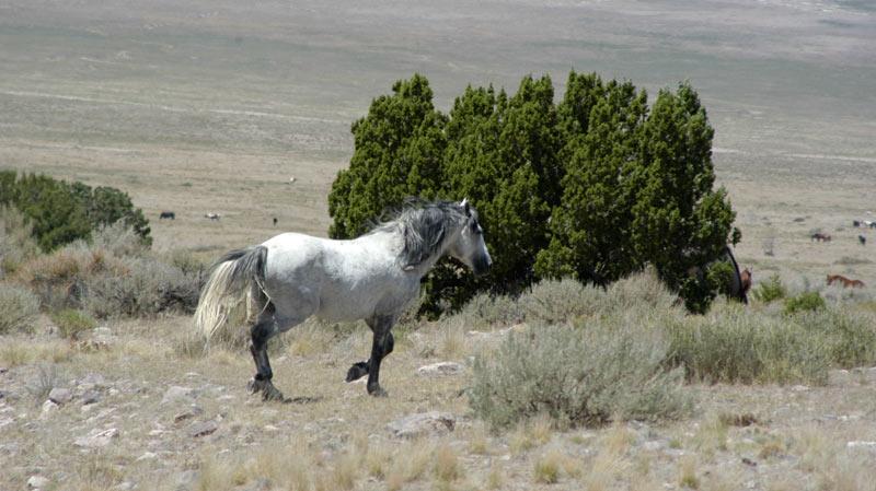 A wild horse from the Onaqui HMA in Utah.