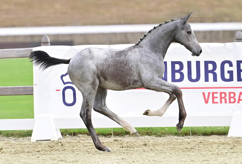 Copacabana sold for €32,000 at the 22nd Elite Foal Auction in Vechta.