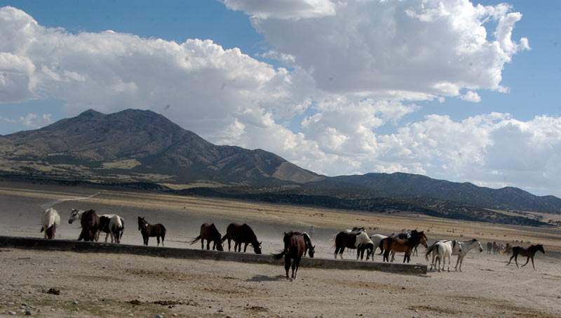 Several bands of wild horses depend on the Onaqui HMA water trough.