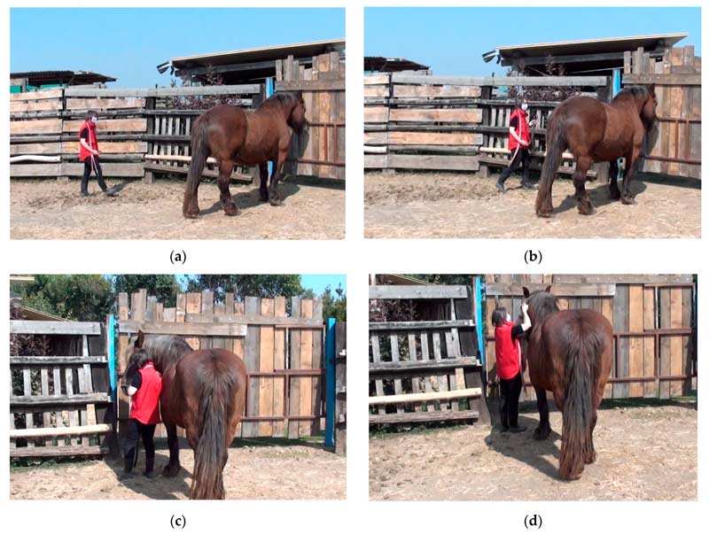 The Broken/Unbroken Test (BUT) consists of two phases: In the first phase, approaching and Haltering, the tester entered the test area, walked towards the horse slowly with the halter in her hand, approached the horse, and then tried to halter it.