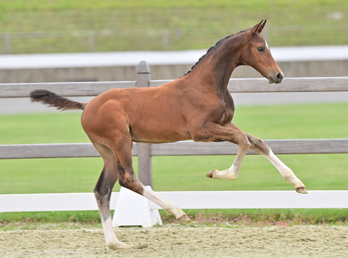 Connery (Conthalou/Cornet Obolensky/Casall) was the highest-priced jumping foal, selling for €33,000.