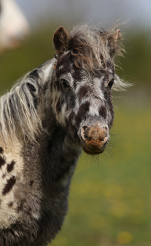 Miniature shetland Doolittle is having a ball in his new home.