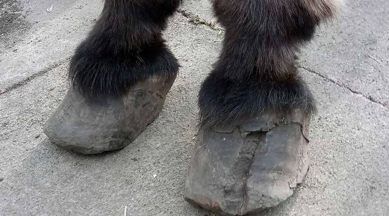 Josh was found to have a painful hoof crack. He was also suffering from laminitis.
