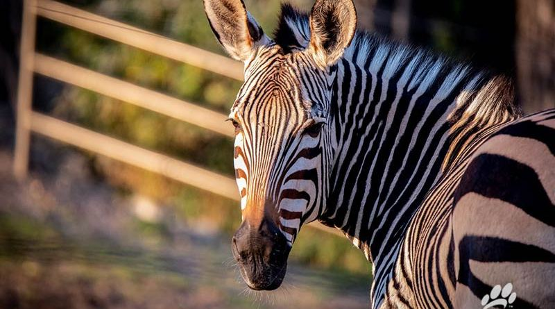 Health issues and age caught up with Hartmann's mountain zebra mare Chela.