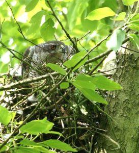 Havik op nest