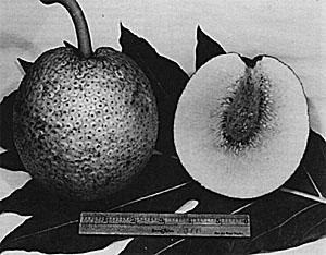 Ripe breadfruit