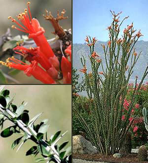ocotillo - horticulture unlimited