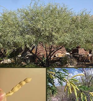 Velvet Mesquite Tree  Horticulture Unlimited