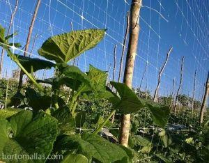 HORTOMALLAS espaldera entutorado rafia pepino pepinillo pickle soporte tutor