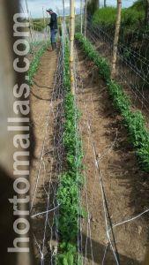 Peas with trellis net