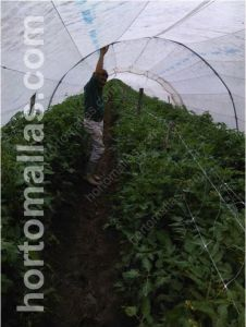 tomato with double crop suport net