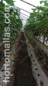 cucumber with crop support net