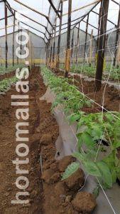 tutotaje de tomate en invernadero