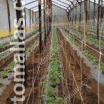 produção de tomate com HORTOMALLAS