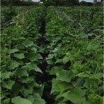 هورتومالاس يسمح بنمو البطيخ لتحقيق محصول عالي الكثافة بفضل توجيهاته للنمو التسلق العمودي للنباتات.