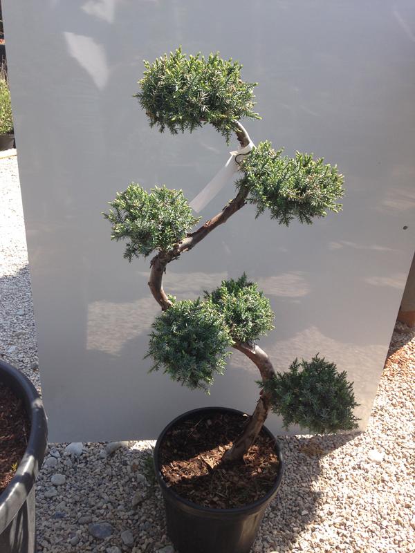 Juniperus Chinensis 'Blue Alps'