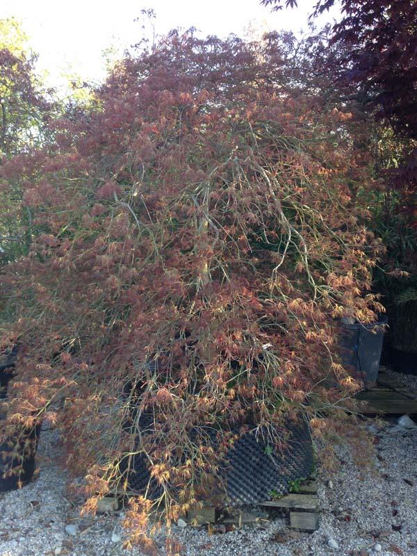 Acer Palmatum 'ornatum' Exemplaire