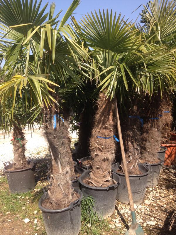 Trachycarpus Excelsa