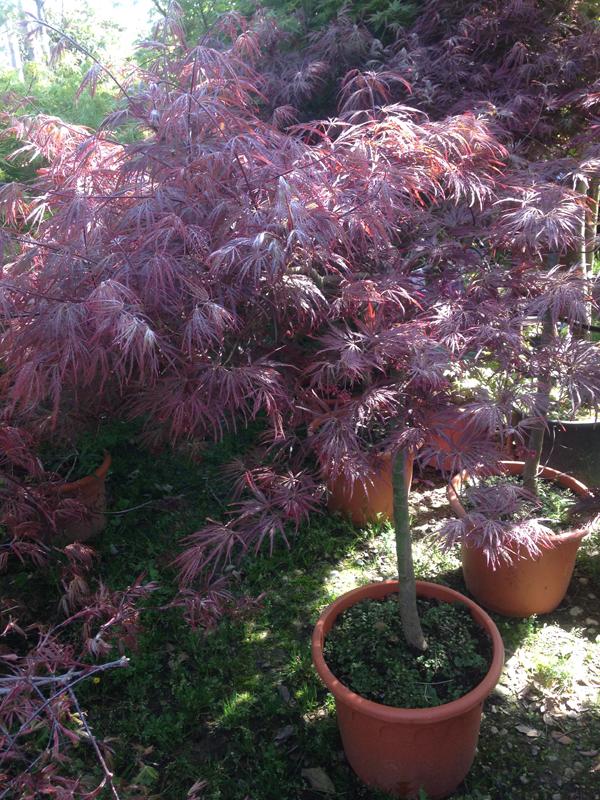 Acer Palmatum 'Dissectum Garnet' Tige