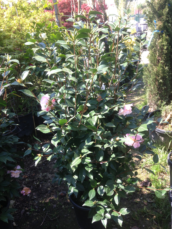 Camelia 'Hight Fragance'