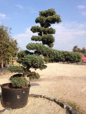 Pinus parviflora en nuage
