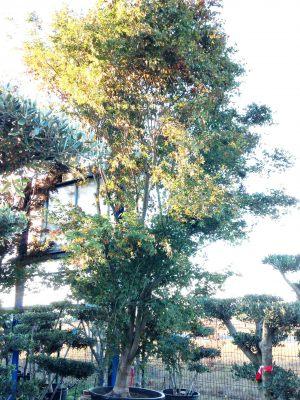 acer-palmatum- gros sujet