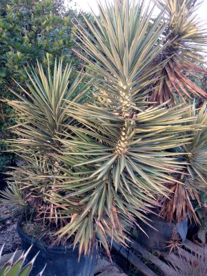 yucca-aloifolia
