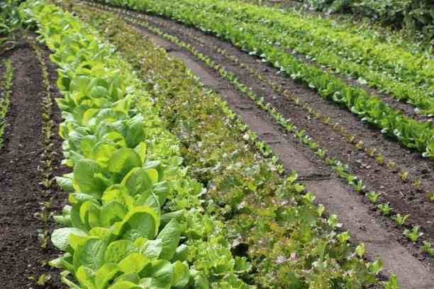 Row planting vegetables for beginners