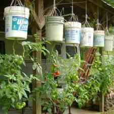 Upside Down Gardening of Tomatoes