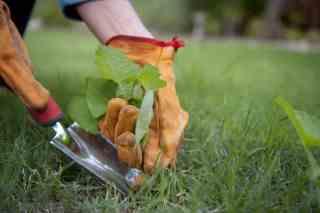best glyphosate alternatives - hand pulling