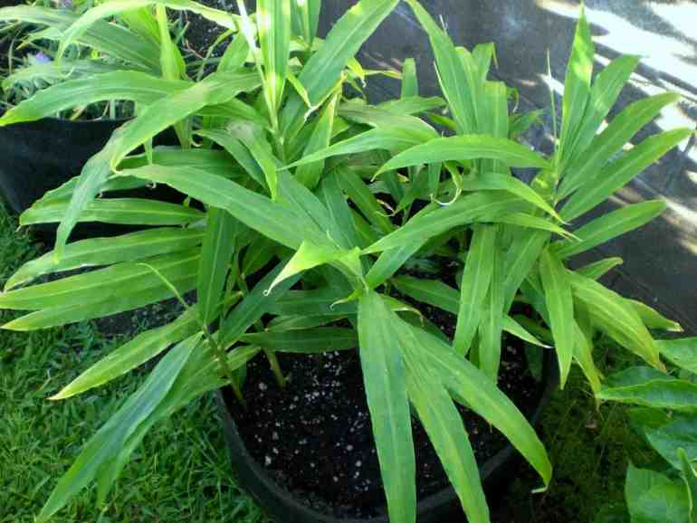 Easiest vegetables to grow ginger