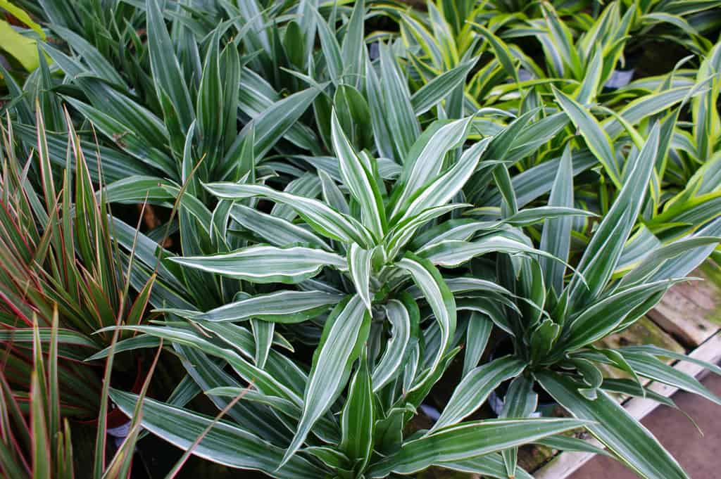 Houseplants dracaena