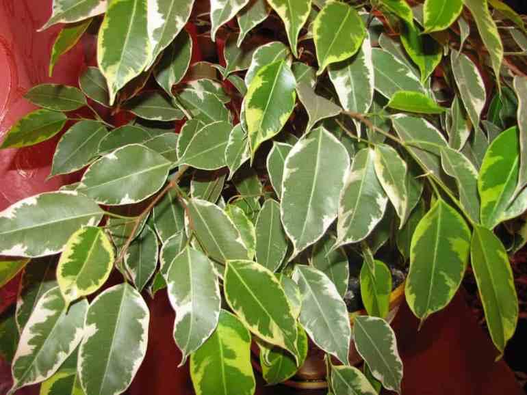 Houseplants ficus benjamina