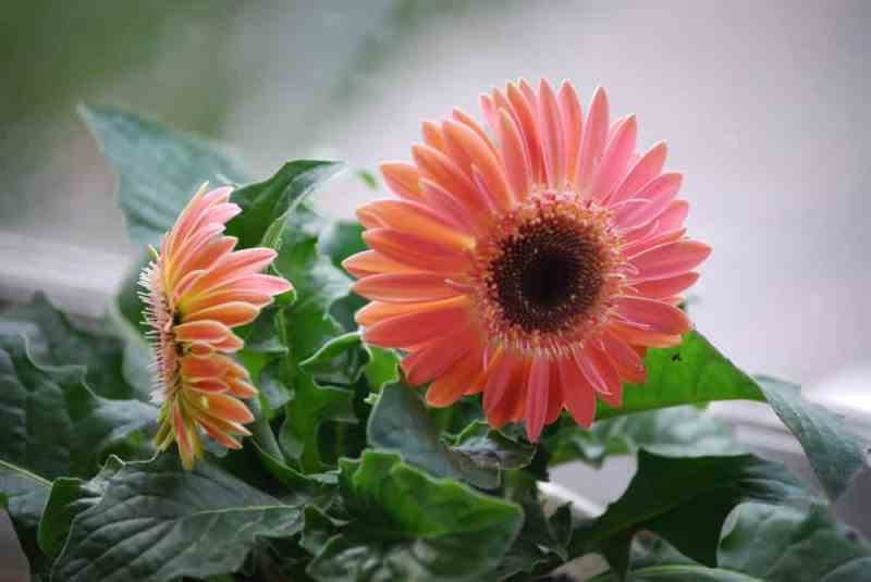 Houseplants gerbera