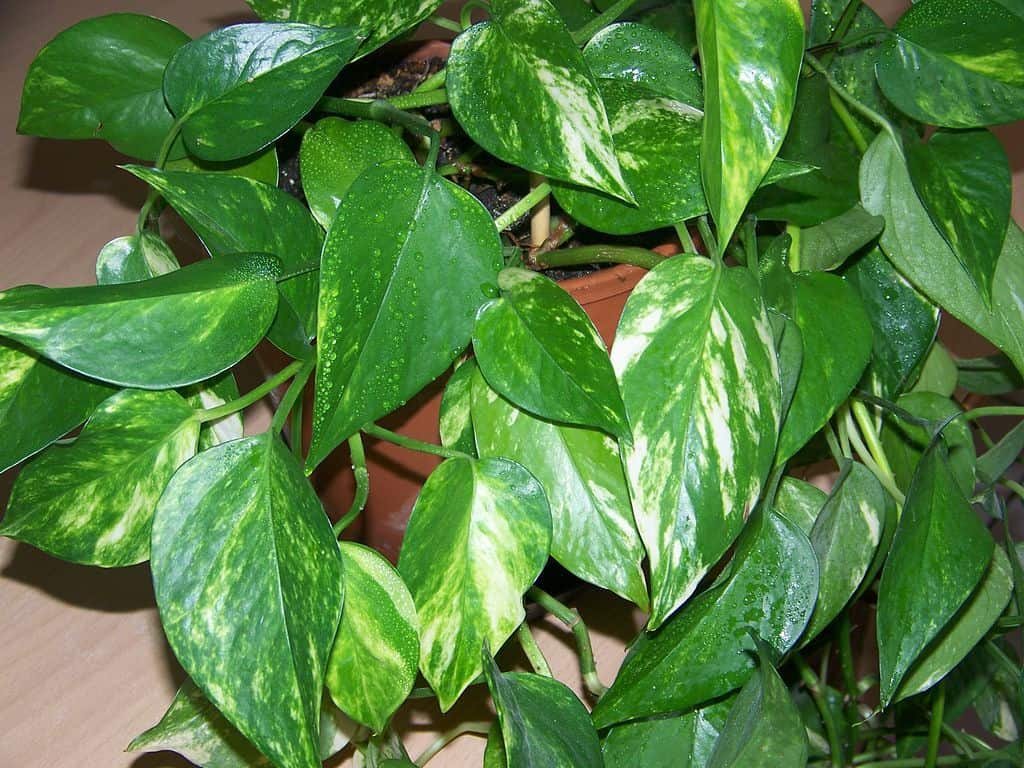 Houseplants golden pothos