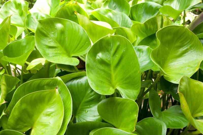 Houseplants heart philadendron