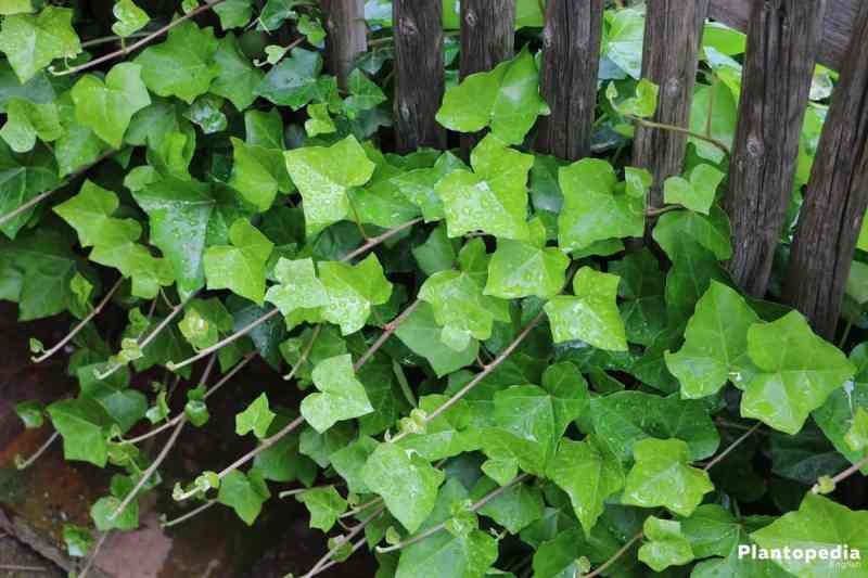Houseplants hedera helix