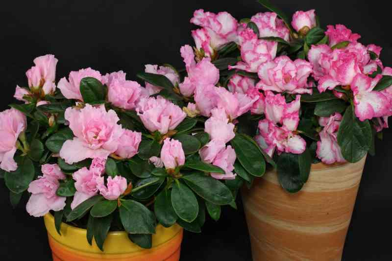 Houseplants rhododendron