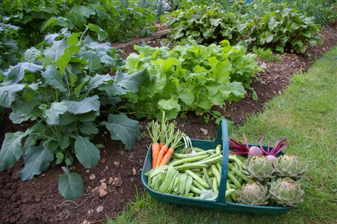 How do I prepare the soil for a vegetable garden?