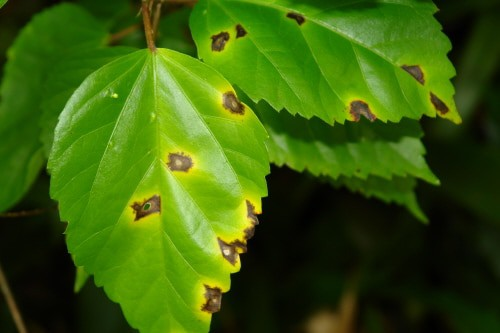 Hibiscus plant care bacterial leaf spot
