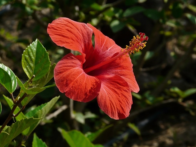 hibiscus plant care nutrition