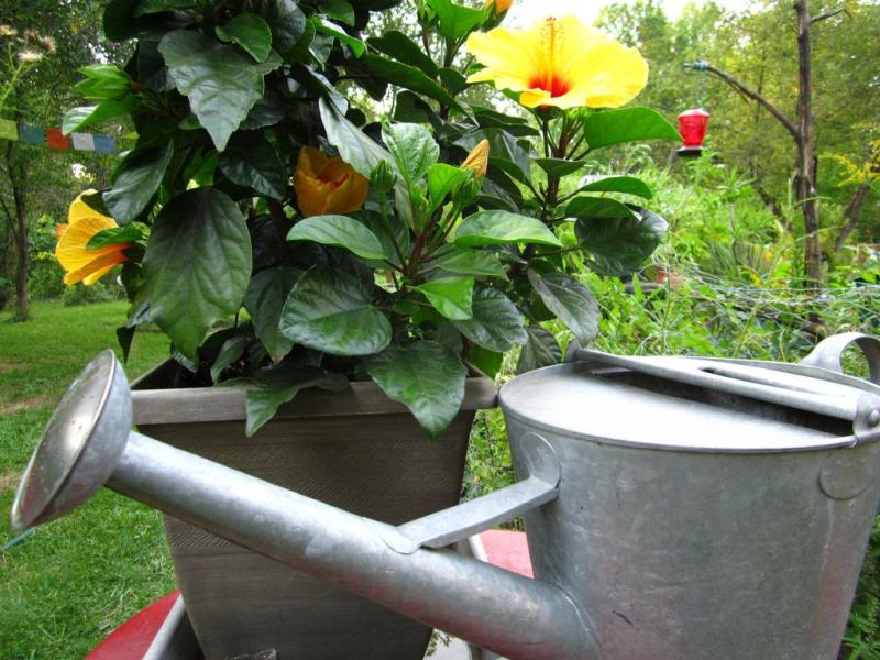 hibiscus plant care watering