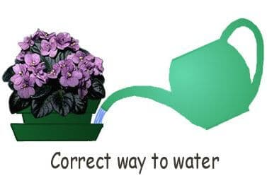 African violet Care: How to make your AVs Bloom