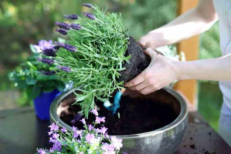 7 Easy Steps in Growing Lavender in Pots